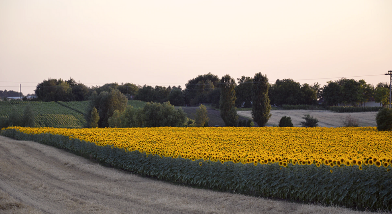 A field of sunflowers is seen during a sunset in Serbia. Sunflower oil is one of the most important products in the agricultural products market in Serbia.